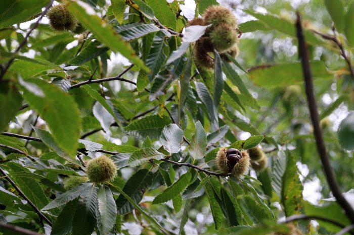 kasztany jadalne - drzewo