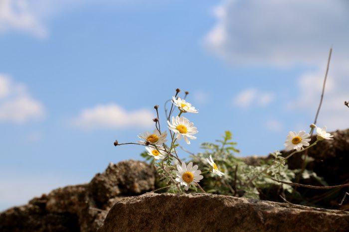 rumianek rosnący nagołej skale