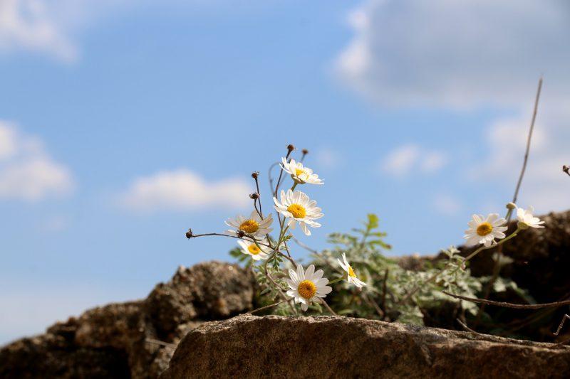 rumianek rosnący na gołej skale