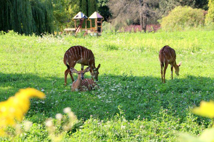 bongo, zoo Opole
