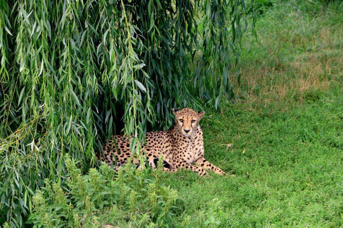gepard, zoo Opole