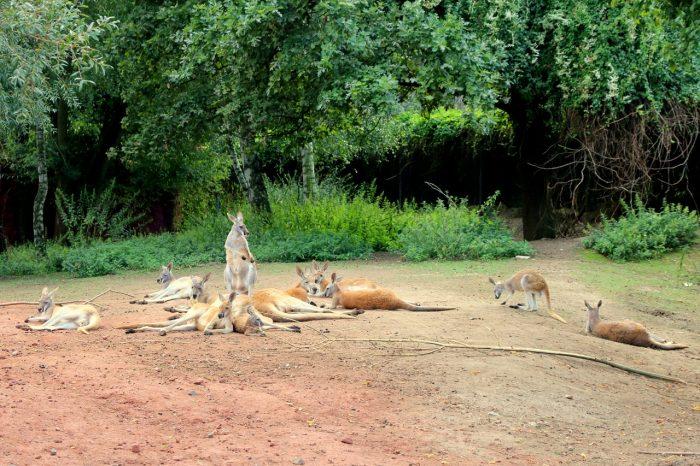 kangury, zoo Opole