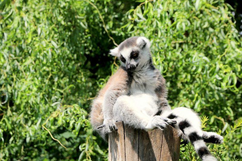 Zoo Opole - lemur